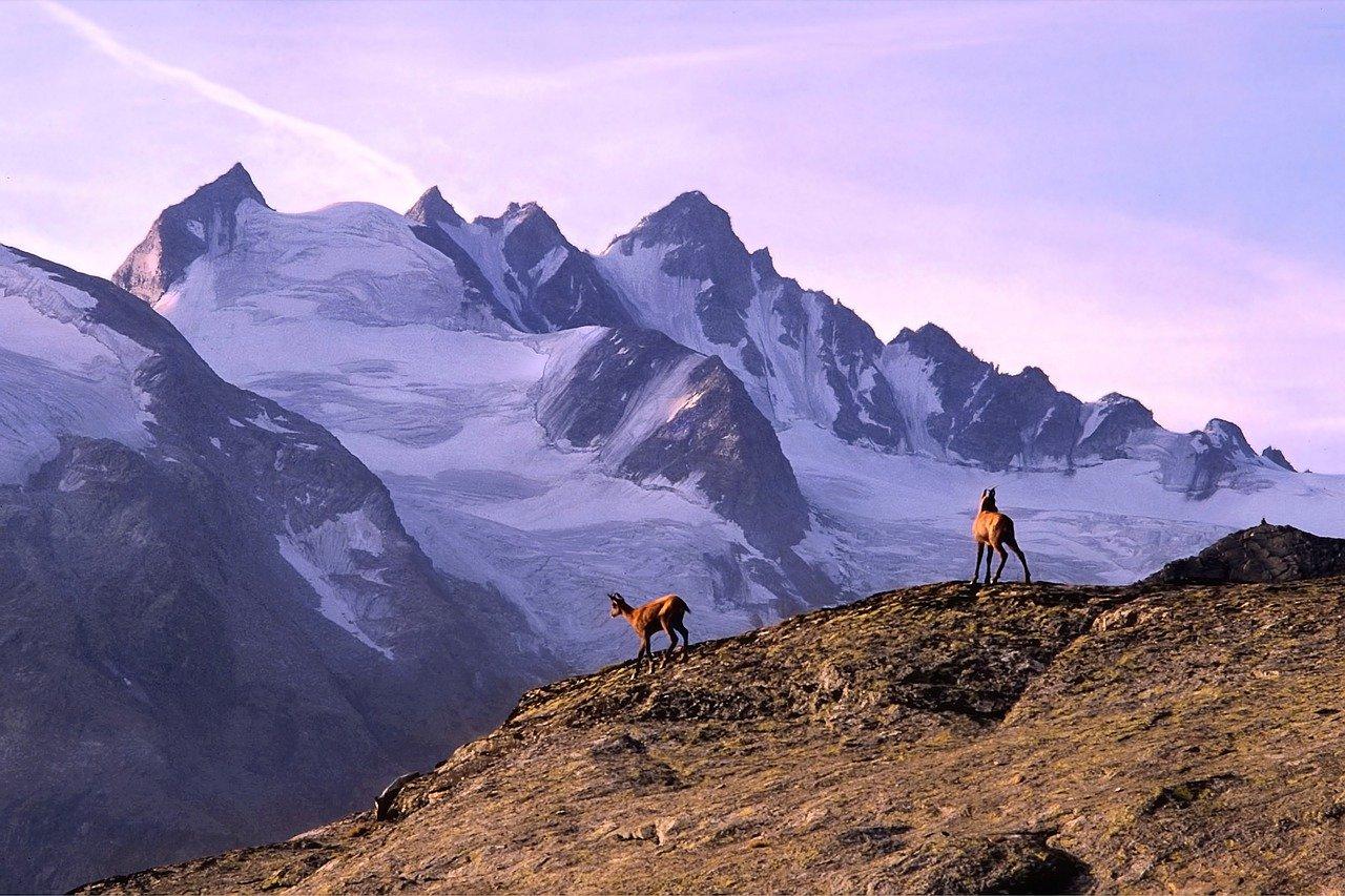 montaña, chamois, alpes